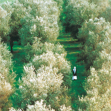 올리브 나무 사이로